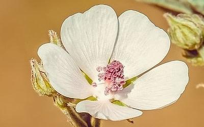 Les mucilages : Les bienfaits des plantes