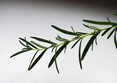 Plantes sauvages - La Mauve