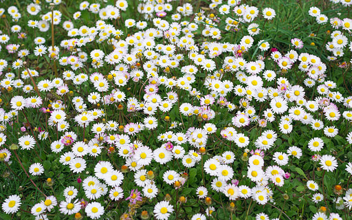 les fleurs de pâquerette
