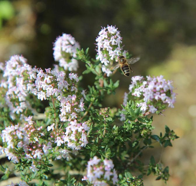 plantes de garrigue: thym
